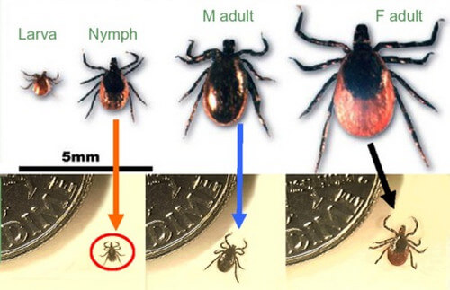 Deer tick or Ixodes scapularis classifications picture
