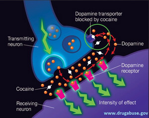 mechanism of action of cocaine image