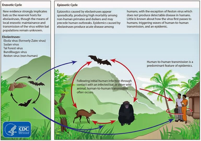 Ebola Virus cycle image