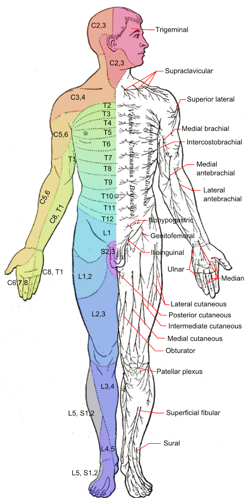 Anterior Peripheral Nerves and Dermatomes picture