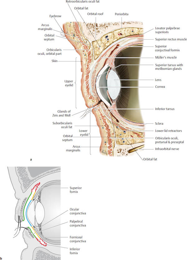 interior anatomy of the eye picture