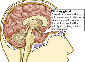 Pituitary Gland Location picture