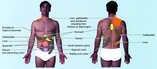 Organs that are found in the right abdominal quadrant image