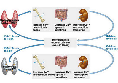 An illustration of the Calcium Homeostasis image
