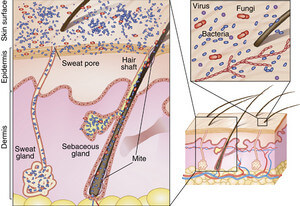 the presence of fungi, along with other microbes, in the superficial layer of the skin image