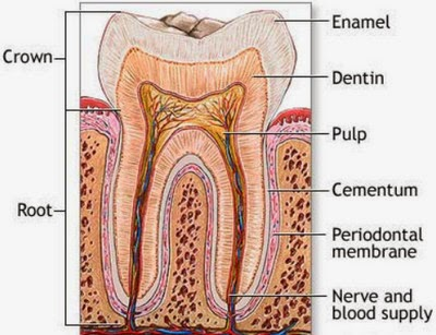 Picture Anatomy of the Tooth  image