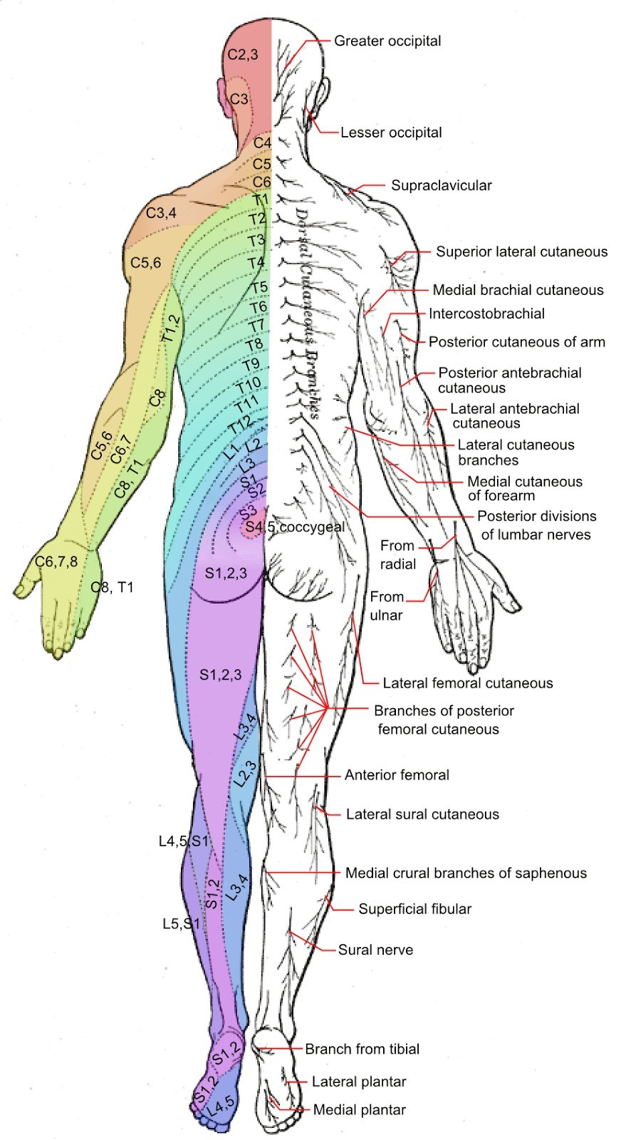 Posterior Peripheral Nerves and Dermatomes picture